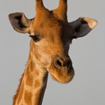 Close-up of Giraffe head and neck